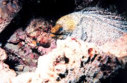 Yellow Margin Moray eel (Gymnothorax flavimarginatus) Photo