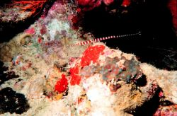 Many banded pipefish (Doryrhampus multiannulatus) Photo