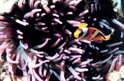 Two-banded clown fish - Amphiprion bicinctus - in sea anemone Photo