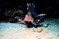 Volitan lionfish - Pterois volitans Photo