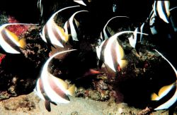 Bannerfish (Heniochus acuminatus) Photo