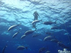 A diver above a school of ulua (giant trevally) Caranx ignobilis Photo