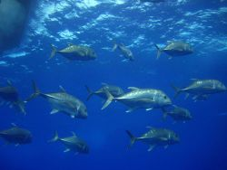 A school of ulua (giant trevally) Caranx ignobilis Photo