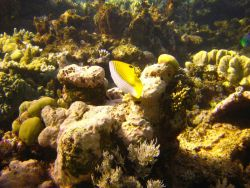 Threadfin butterfly fish from rear (Chaetodon auriga) Photo