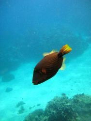 Orange-lined triggerfish (Balistrapus undulatus) Photo