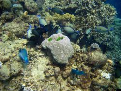 Two parrotfish and school of ringtail surgeonfish (Acanthurus blochii) Photo