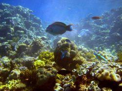 Possibly bicolor parrotfish in center (Cetoscraus bicolor) Photo