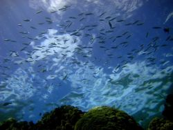 Reef scene - fusiliers seen from below Photo
