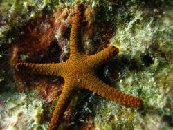 Starfish (Fromia indica) Photo