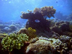 Reef scene with damselfish (Pomacentrus sp.) Photo