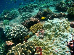 Golden damselfish (Amblyglyphidodon aureus) in beautiful undersea coral garden Photo