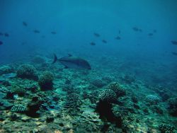 Bluefin trevally (Caranx melampygus) over reef Photo