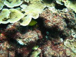 Golden damselfish hiding under coral Photo