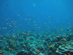 Hundreds of anthias over the reef Photo