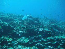 Gray reef shark headed towards photographer Photo
