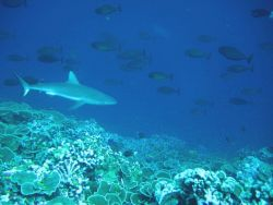 Gray reef shark, surgeonfish, and lone unicornfish in upper right. Photo