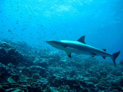 Silvertip shark (Carcharhinus albimarginatus) Photo