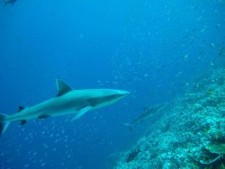 Silvertip shark (Carcharhinus albimarginatus) 0 Photo