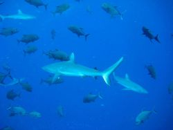 Silvertip shark (Carcharhinus albimarginatus) and giant trevally Photo