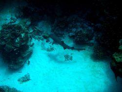 Gray reef shark cruising the reef Photo