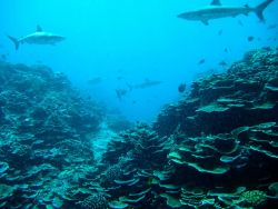 Gray reef sharks over a wide expanse of lettuce coral Photo