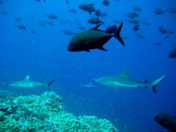 Giant trevally and gray reef sharks over reef Photo