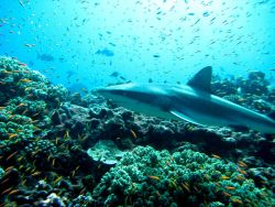 Gray reef shark in a cloud of anthias Photo