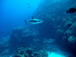 Silvertip shark(Carcharhinus albimarginatus) and gray reef sharks over the reef Photo