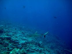 Silvertip shark (Carcharhinus albimarginatus) over the reef Photo