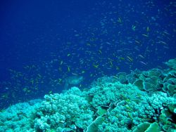 A cloud of anthias with green sea turtle in the distance Photo