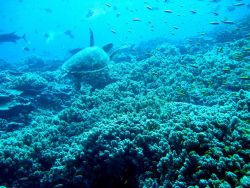 Green sea turtle cruising over the reef Photo