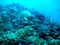 Stern view of a green sea turtle cruising over the reef Photo