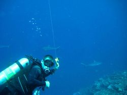 Scuba diver with gray reef sharks in background Photo