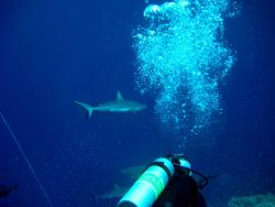 Scuba diver with gray reef shark in background Photo