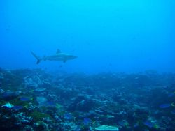 Gray reef shark with blue and yellow fusiliers in foreground Photo