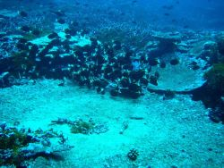 An aggregation of whitecheek surgeonfish (Acanthurus nigricans) Photo