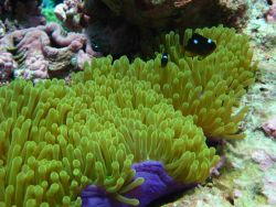 Juvenile three-spot Dascyllus damselfish (Dascyllus trimaculatus) in anemone Photo