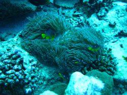 Juvenile three-spot Dascyllus damselfish (Dascyllus trimaculatus) near anemone Photo