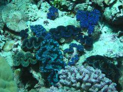 Giant clams (Tridacna sp.) Photo