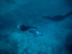 Manta ray (Manta birostris) Photo