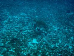 Green sea turtle over relatively barren bottom Photo