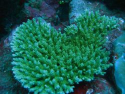 Reef scene with coral colony (Acropora sp.) Photo