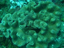 Leather coral Photo