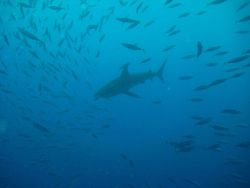 School of fusiliers disbursing as gray reef shark approaches Photo