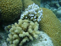 Acroporidae coral Acropora sp.with star coral in background and to right. Photo