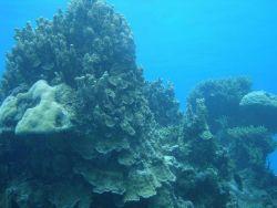 Acroporidae coral Photo