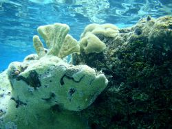 Poritidae coral Porites sp. Photo