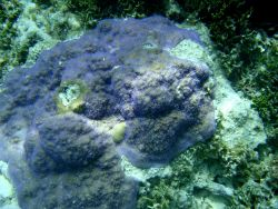 Acroporidae coral Montipora sp. Photo