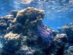 Acroporidae coral Montipora sp Photo