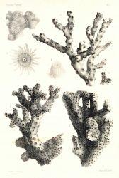 Figures 1-4, Oculina varicosa Leseuer Photo